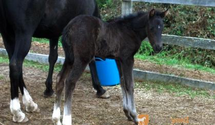 3 quality Andalusian x colt foals by Campeon Hermoso for sale. on HorseYard.com.au