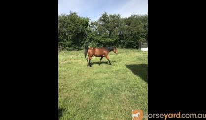 Brood mare on HorseYard.com.au