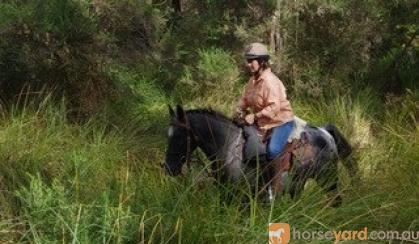 Mr WIZZ Blue Roan Appi on HorseYard.com.au