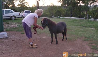 mini mare in foal..homozygous black, overo, appy on HorseYard.com.au