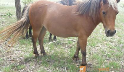 mini. small horse mare silver bay...beautiful!! on HorseYard.com.au