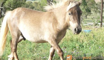 mini horse colt chocholate taffy stunning FRIENDLY on HorseYard.com.au