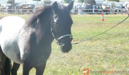 miniature, small horse,SHOW on HorseYard.com.au