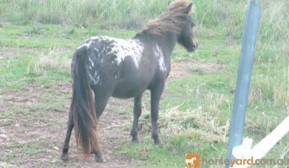mini horse black blanket ...BEAUTIFUL Friendly on HorseYard.com.au