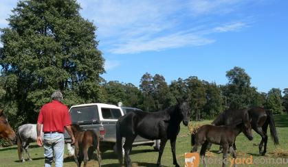Package - ASH Black Mare with 2016 ASH reg Black Filly Foal at Foot Mare is Hardrock Jet, ASH reg.  on HorseYard.com.au