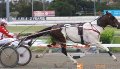 Skewbald Standardbred Stallion on HorseYard.com.au
