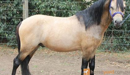 Buckskin Welsh A Stallion on HorseYard.com.au