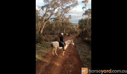 Forward moving Arabian Pony on HorseYard.com.au