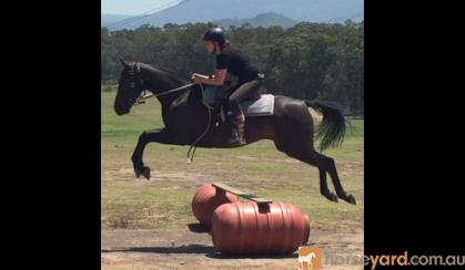 Jet Black Aust Stock Gelding + VIDEO+ on HorseYard.com.au