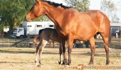 Gorgeous AQHA Broodmare on HorseYard.com.au