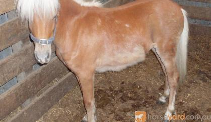 Flaxen Mane & Tail**Reduced on HorseYard.com.au