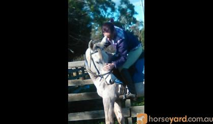 Purebred Arabian Colt on HorseYard.com.au