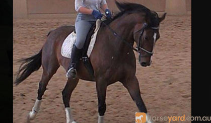 Lovely Horse for Free Lease / Horse Share ASAP!!! on HorseYard.com.au