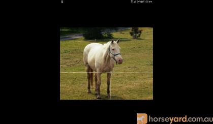 Few Spot Mare on HorseYard.com.au