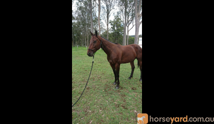 Sweet natured gelding  on HorseYard.com.au