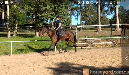 Bay standard gelding 16hh, 5 year old on HorseYard.com.au