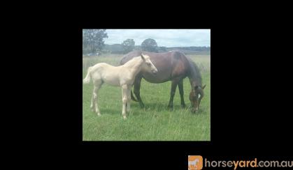 palomino roan filly on HorseYard.com.au