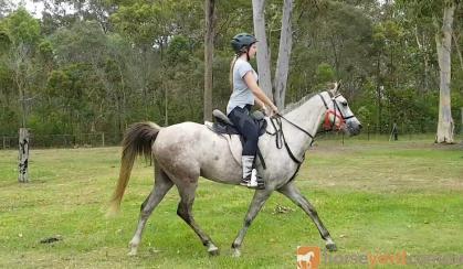 Purebred Arabian Gelding on HorseYard.com.au