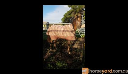 Tall purebred colt/gelding on HorseYard.com.au