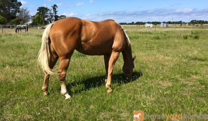 AAA Palomino Mare on HorseYard.com.au