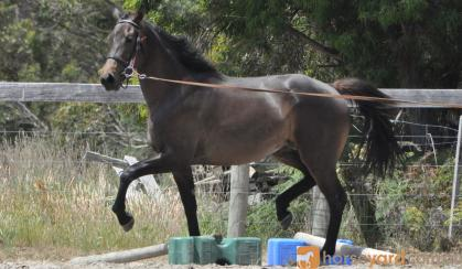 Ripple FX Skye on HorseYard.com.au