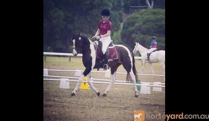 Super Sweet Rising 7yo Mare on HorseYard.com.au