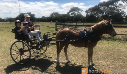Welsh Mountain Pony on HorseYard.com.au