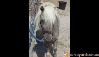 4 Shetland bred geldings $350.00 each on HorseYard.com.au
