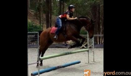 Big and huggable sweet schoolmaster 17hh geld on HorseYard.com.au