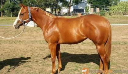 Yearling Filly Q-83023 by LP Kids Yella Image (imp) on HorseYard.com.au