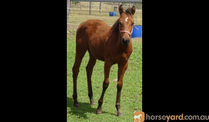 QUIET QH WEANLING FILLY FOR SALE on HorseYard.com.au