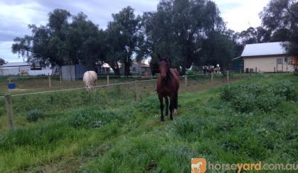 9 Year Old Morgan X gelding on HorseYard.com.au