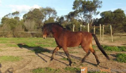 Welsh B Stallion - Bamborough Royal Usher. on HorseYard.com.au