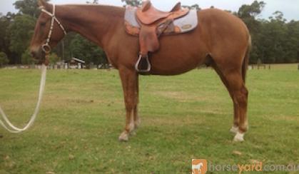 Woody - Taffy SH Gelding on HorseYard.com.au