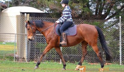 Perfect Beginners Horse on HorseYard.com.au