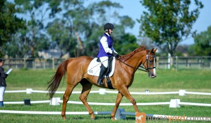 Dressage Gelding back in work and going well on HorseYard.com.au