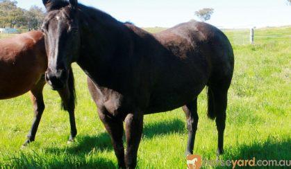 Duchess black stock horse mare on HorseYard.com.au