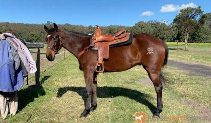 SOLD. SOLD Reg Qh Gelding $2000 —     SOLD. SOLD  on HorseYard.com.au