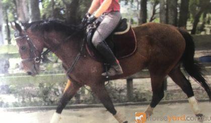 Thoroughbred gelding, very quiet  on HorseYard.com.au