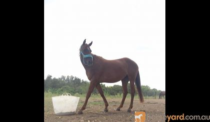 Savannah on HorseYard.com.au