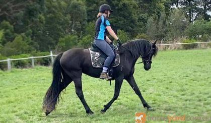 Young Friesian X on HorseYard.com.au