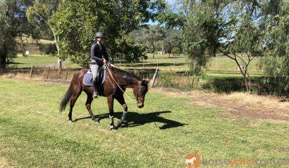Super Quiet Little Mare on HorseYard.com.au