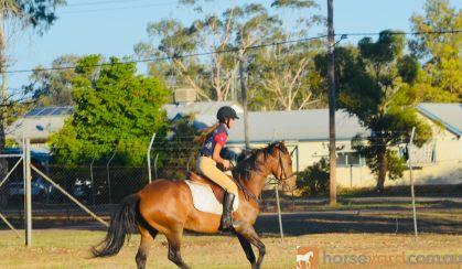 Quiet heritage Stockhorse mare on HorseYard.com.au