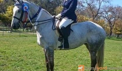 Price Reduce Stunning Warmblood Mare on HorseYard.com.au