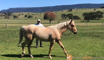 Unbroken Registered 2 year old palomino  Quarter horse gelding . Australian and USA Hall of fame bloodlines on HorseYard.com.au