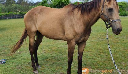 Buckskin Gelding on HorseYard.com.au