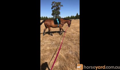 Quiet OTT Gelding  on HorseYard.com.au