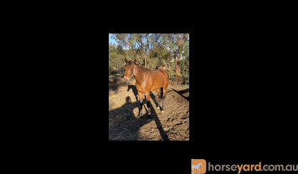 Stunning, quiet  5 yo mare for project or breeding on HorseYard.com.au