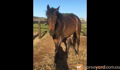 Big friendly Giant - TB Gelding  on HorseYard.com.au