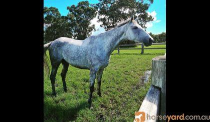 Eventing potential  on HorseYard.com.au